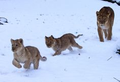 Lion cubs running through the #snow at Longleat Safari Park. #Cubs #Animals #Cute #Winter #History #ROAR