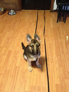 @Jocelyn Cartmel I see your floppy ears picture, and I raise you a success picture, documenting the first day her ears stood up on their own