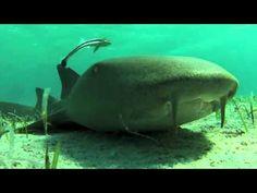 ▶ Nurse Shark & Remora - YouTube