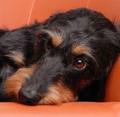 A Dachshund beauty - Dackel - Puppies Funny Dachshund, Dachshund Puppies, Weenie Dogs, Dachshund Love, Cute Puppies, Cute Dogs, Dogs And Puppies, Daschund, Doggies