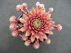 Sempervivum faramir, a pink hen-and-chicks                                                                                                                                                      More
