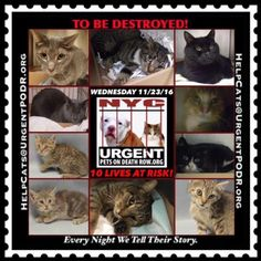 "TO BE DESTROYED 11/23/16 - - Info  Please Share:Please share View tonight's list here: http://nyccats.urgentpodr.org/tbd-cats-page/  The shelter closes at 8pm. Go to the ACC website( http:/www.nycacc.org/PublicAtRisk.htm) ASAP to adopt a PUBLIC LIST cat (noted with a ""P"" on their profile) and/or … CLICK HERE FOR ADD...-  Click for info & Current Status: http://nyccats.urgentpodr.org/to-be-destroyed-091716/"
