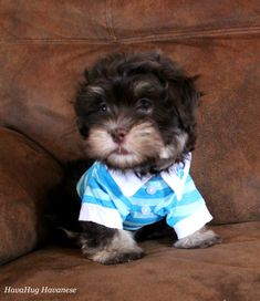 HavaHug Havanese Puppies, is a Michigan based Havanese breeder of quality Chocolate AKC Havanese Dogs. Non-shedding, Hypo-allergenic Puppies. Breeder of the Most Beautiful Chocolate Havanese! Havanese Breeders, Havanese Puppies For Sale, Havanese Dogs, Cute Puppies, Companion Dog, Pet Beds, Training Your Dog, Little Dogs, I Love Dogs