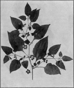 Google Image Result for http://chestofbooks.com/flora-plants/weeds/Poisonous-Plants/images/Fig-37-Common-Nightshade.jpg