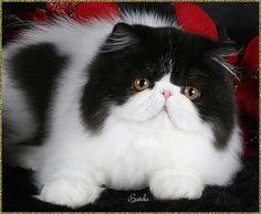 Bi-color Persian