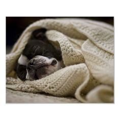 Boston Terrier in a Blanket / National Geographic