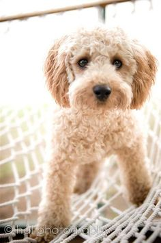 Mini Golden Doodle Puppy. @Allison Gadbois - Pooookers!  | halphotography