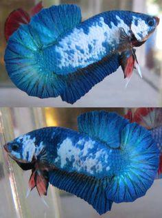 fwbettashmp1425301612 - fancy hmpk male (P92)