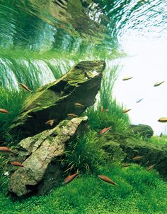 Takashi Amano | Nature Aquarium Aquascapes « [T A G]. emperor tetras!