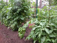 """Growing basil next to tomatoes make both plants healthier and have better, tastier yields.   It's called """"companion planting"""" and gardeners have been doing it for a long time.  Let us help you grow better summer tomatoes."""