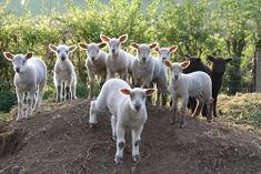 Stroud Slad Farm Lambs