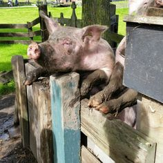 Pigs @farm