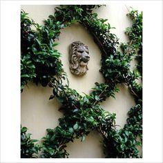 Espaliered camellia vertical garden classic elegant glam +++jardin trepadora en forma de rombos en pared muro