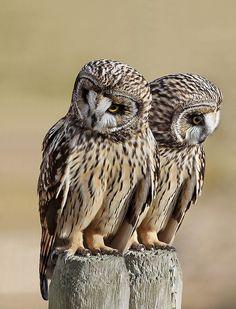 Twins (Short Eared Owls)