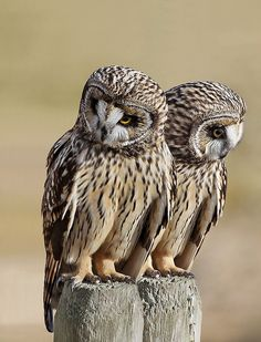 #Twins (Short Eared Owls)