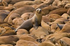 Photo by @FransLanting // I don't have to go very far from home to witness awesome wildlife spectacles. Less than half an hour from where I live, sea lions haul out by the thousands on the beaches of Año Nuevo Island, a rocky outcrop at the northern tip of Monterey Bay. It's a great testimonial to the natural abundance of California's marine ecosystem. In this image, one youngster is perched atop a mass of slumbering sea lions. @natgeo @thephotosociety @natgeocreative #california #sealion…