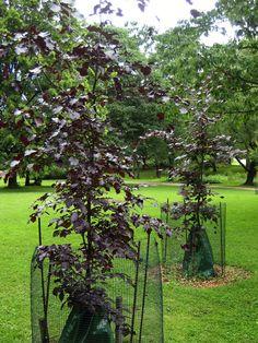 Veripyökit ovat vielä taimia ja niiden juurella on kastelupussi, joka vapauttaa veden hitaasti puun juurille [Elina Nummi]