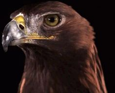 Golden Eagle (Aquila chrysaetos) in slow motion. gif by @MathewHayes video: http://www.youtube.com/watch?v=aM0JMoGABgklist=WLindex=3