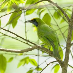 Golden-fronted Leafbird - Chloropsis aurifrons, Thailand.