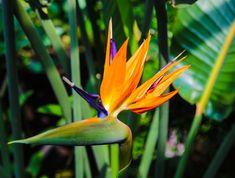 50Pcs RARE Strelitzia Strelitzia fleur Graines Oiseau de Paradis Plante tropicale surp