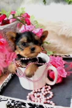 Some of the Tiniest, Most Beautiful Teacup Yorkie Puppies in the World! Teacup Yorkie and Small Toy Yorkies for Sale. Teacup Yorkie For Sale, Teacup Chihuahua Puppies, Yorkies For Sale, Teacup Cats, Yorkie Puppy For Sale, Teacup Puppies For Sale, Cute Dogs And Puppies, Bulldog Puppies, Pug