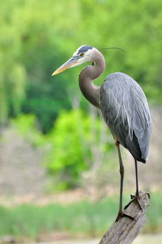 This is a great close up of a Great Blue Heron