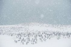 ANTARCTICA What's black and white and bred all over? Pléneau Island, where gentoo penguins mate each spring. Here, a thousand or so ofthe big, flightless birds—average size: 12 pounds, 2.5 feet tall—get acquainted during a snowstorm.  PHOTOGRAPH BY DAISY GILARDINI
