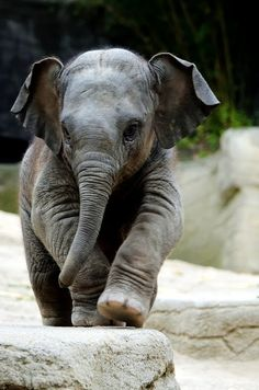 Baby Elephant, the cutest thing. Look at its foot, look at its ears and its trunk awwww its toooo cute