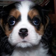 Cavalier King Charles Puppy.  Fin at 9 weeks.