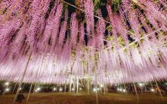 Wisteria Curtain