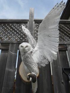 Hedwig. Taxidermy Snowy Owl