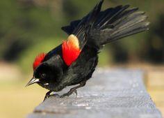 The lovely Redwing Blackbird