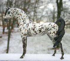 Stunning Black Leopard Appaloosa Arabian; Very Showy.