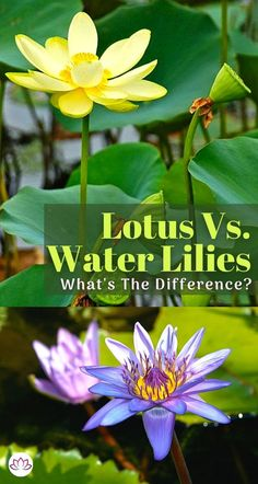 In the world of flowering aquatic plants, nothing beats a water lily or a lotus flower. You probably are already aware of the similarities between water lilies and lotus plants, so let's get down to the differences. Water Garden Plants, Container Water Gardens, Container Plants, Light Blue Flowers, Yellow Flowers, Patio Pond, Lotus Plant, Aquatic Plants, Water Lilies