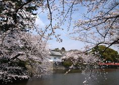 #japan #cherryblossoms #kanto #kanagawa 小田原城址公園