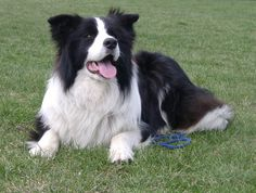 Border Collie, Reino Unido