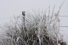 """Ice covered yucca """"soap weed"""" and barbed wire fence in the Nebraska Sandhills."""