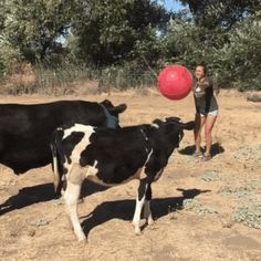 Playing with Cows