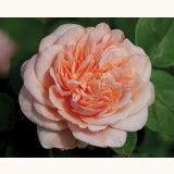 Memories™ Heirloom Rose