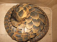 Pangolin - check out those scales!