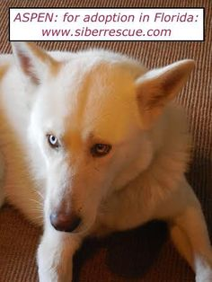 ~ SIBERIAN HUSKY FOR ADOPTION IN FLORIDA ~