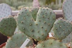Prickly Pear with a heart