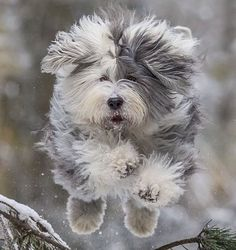 "776 Likes, 10 Comments - Old English Sheepdog ® (@oldenglishsheepdoggram) on Instagram: ""Credit to @lotte1507oldenglishsheepdog ☺️   #bobtailpuppy #oldenglishsheepdogofficial…"""