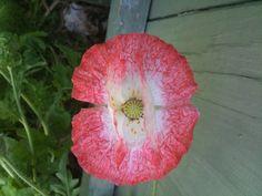 New poppy hybrid.