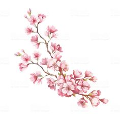 Branch of cherry blossoms. Hand draw watercolor illustration royalty-free branch of cherry blossoms hand draw watercolor illustration stock vector art & more images of art product Bild Tattoos, Cute Tattoos, Beautiful Tattoos, Flower Tattoos, Body Art Tattoos, Tattoo Drawings, Cherry Blossom Drawing, Cherry Blossom Watercolor, Watercolor Flowers