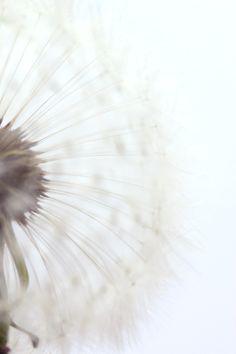 fleur-pissenlit18-copie