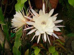 Orchid cacti are also known as epiphyllum which produce yellowish or white flowers that bloom at night.  Tips on growing a potted orchid catus.