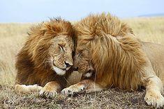 Lions (Panthera leo), affection