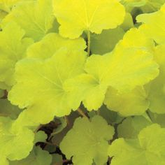 Citronelle Heuchera (Coral Bells) Plant . shade plant. comes in red, orange, brownish colors