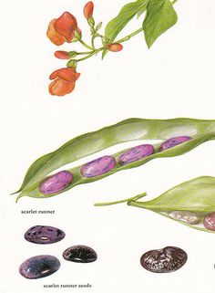 Vegetales imprimir scarlet runner vintage frijoles imprimir botánico por regalo de jardinería decoración 8 x 11.25 pulgadas de Marilena Pistoia cocina